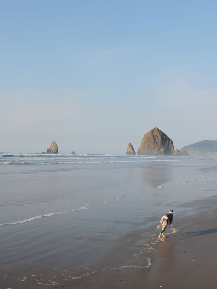 Whippet dog at Haystack Rock