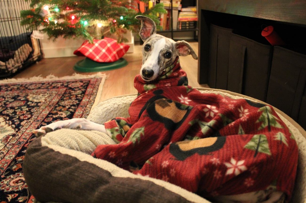 Whippet Dog in DIY Pajamas 2