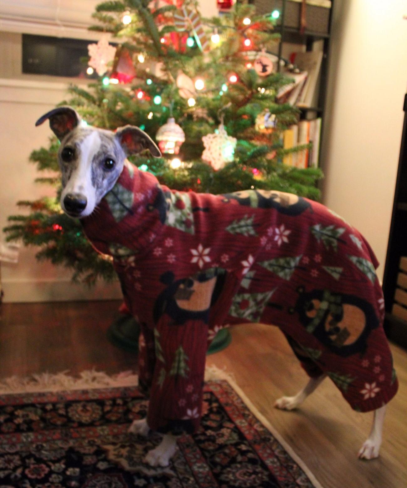 Whippet Dog in DIY Pajamas 3