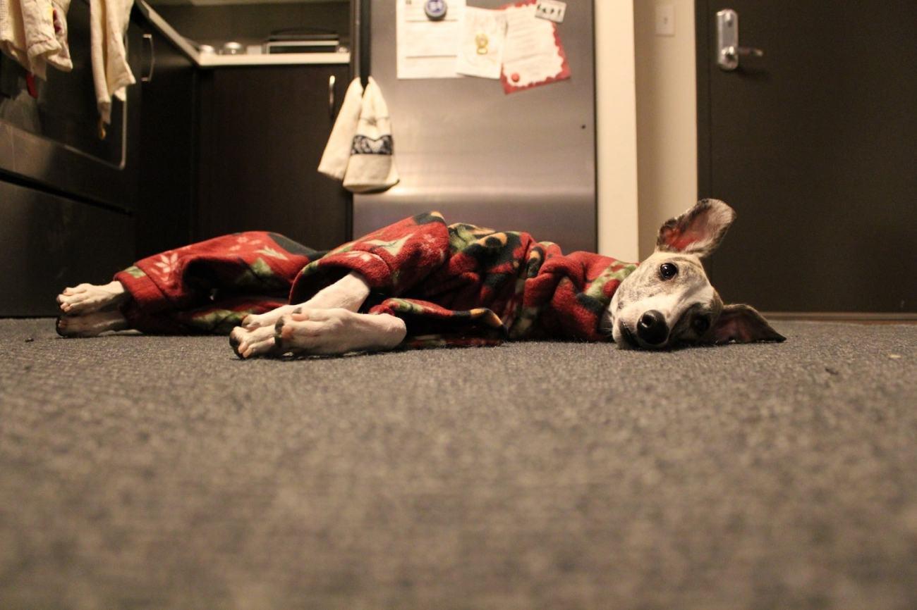 Whippet Dog in DIY Pajamas 4