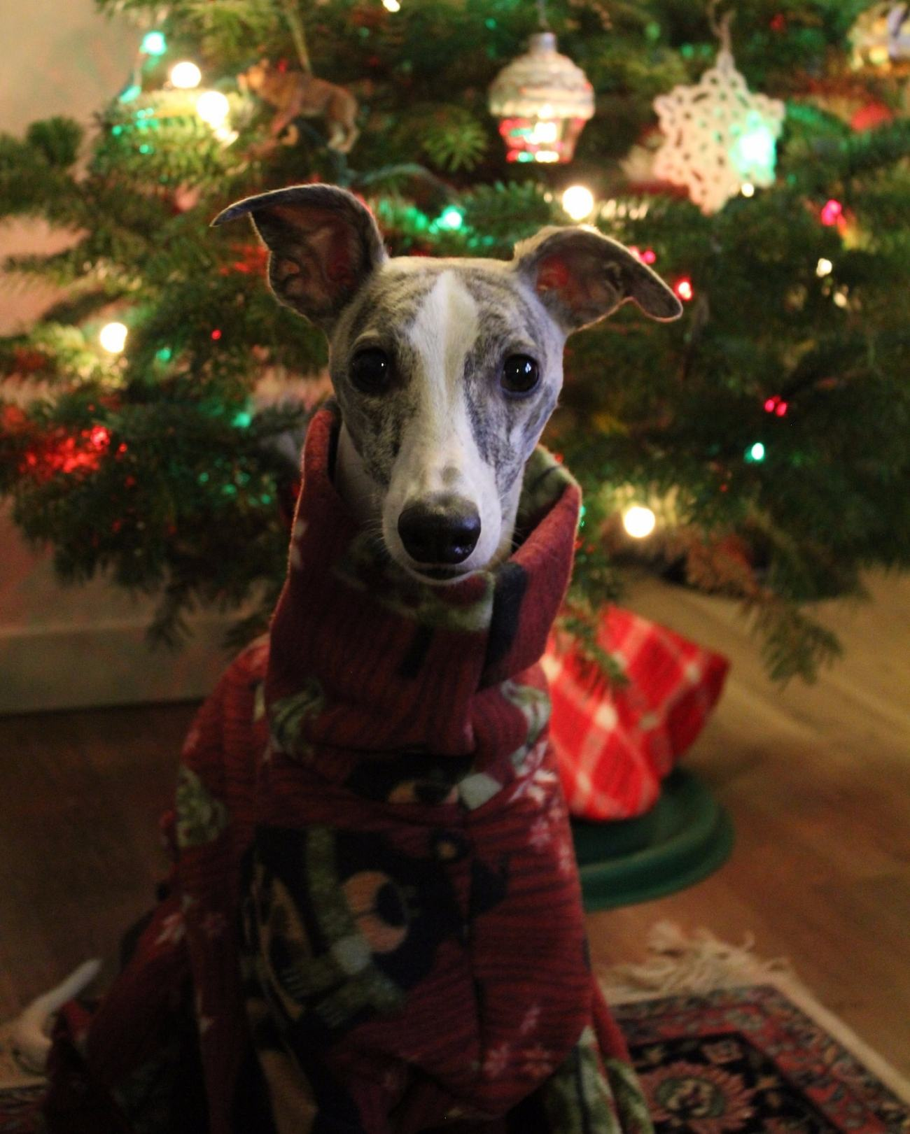 Whippet Dog in DIY Pajamas