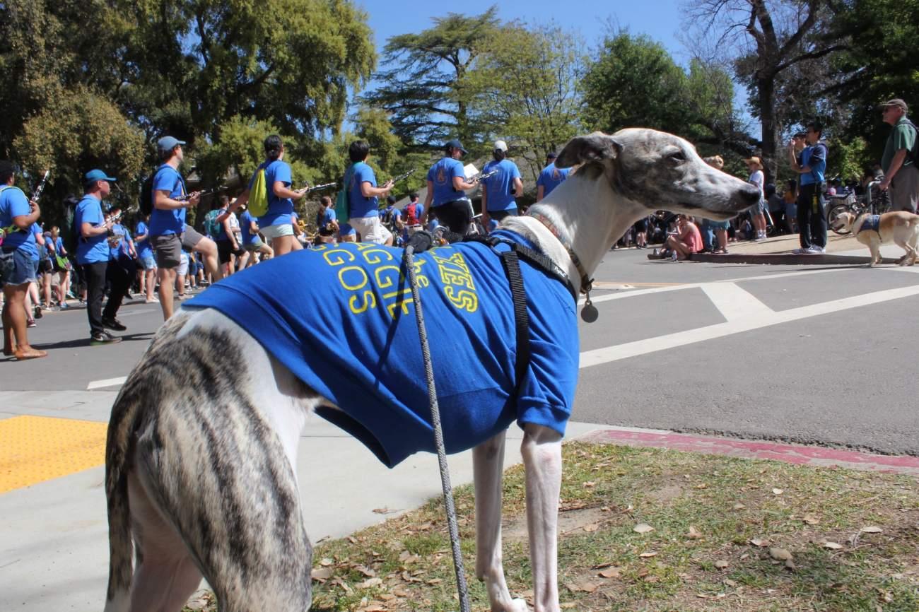 picnic day parade whippet dog 1-min