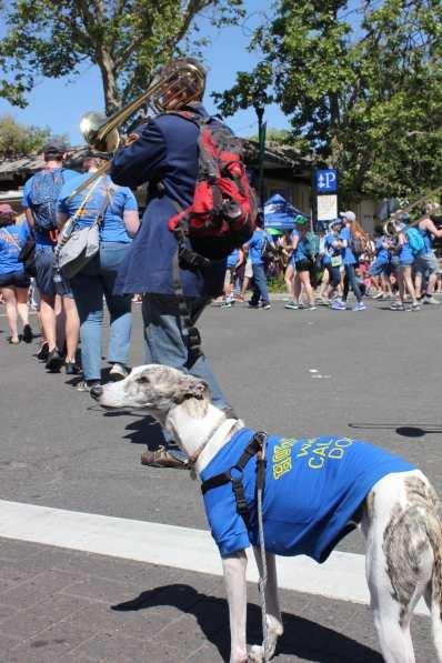 picnic day parade whippet dog 2-min