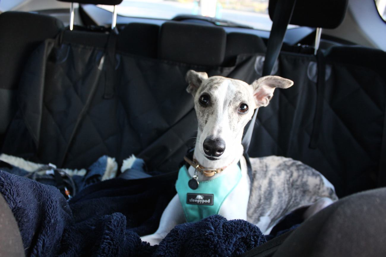whippet dog in car