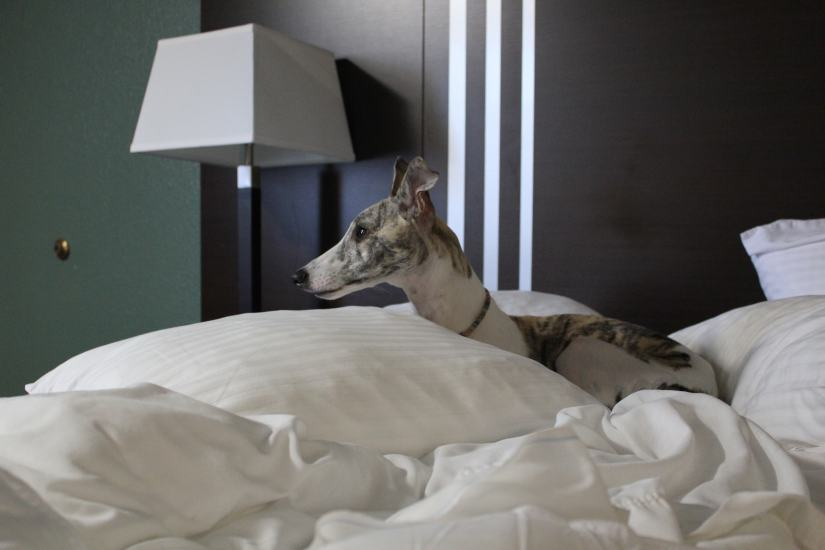 whippet dog in hotel