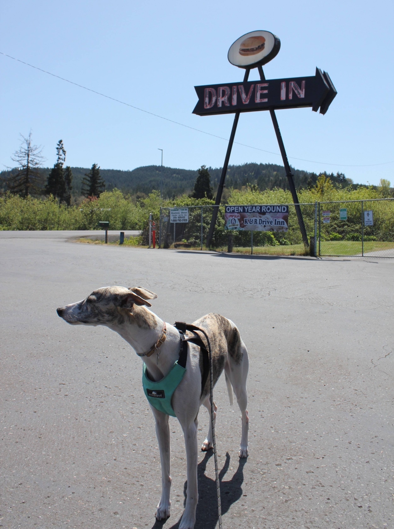 whippet-dog-kr-drive-in.jpg