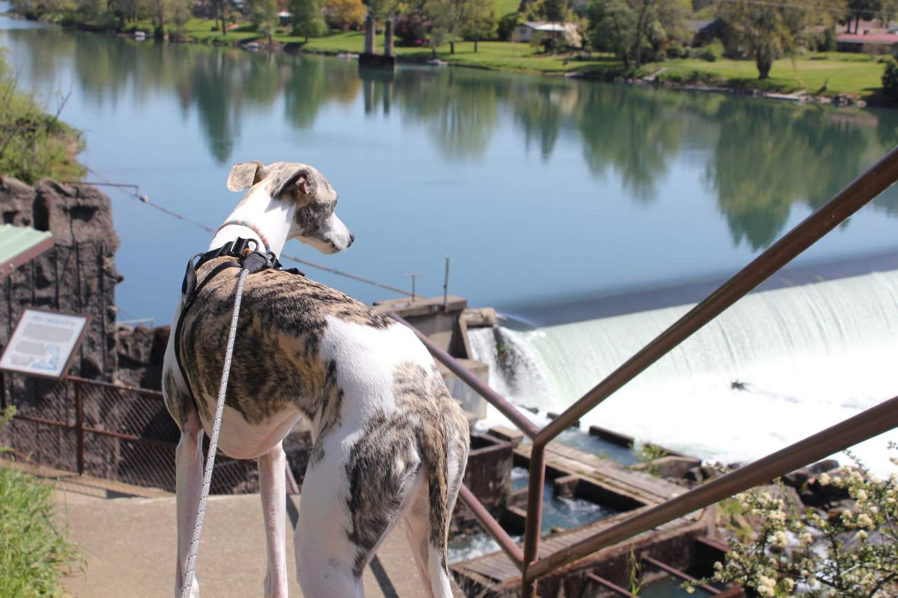 whippet dog winchester dam 2