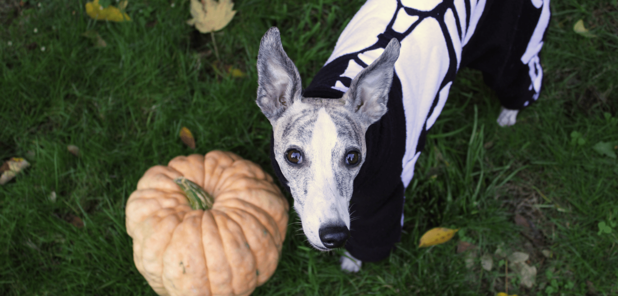 Whippet Dog Skeleton Halloween Costume